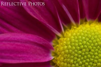 Magenta Daisy Close Up