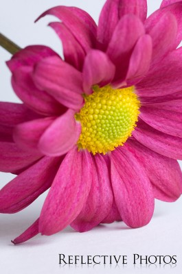 Magenta Mum Flower