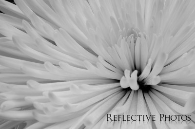 Spider Mum in Black and White