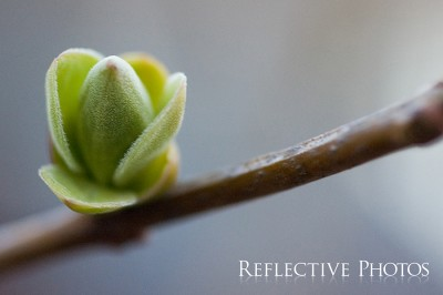 Spring Bud on a Branch
