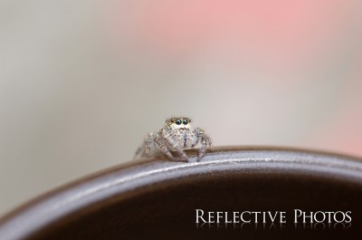 Crouching Jumping Spider