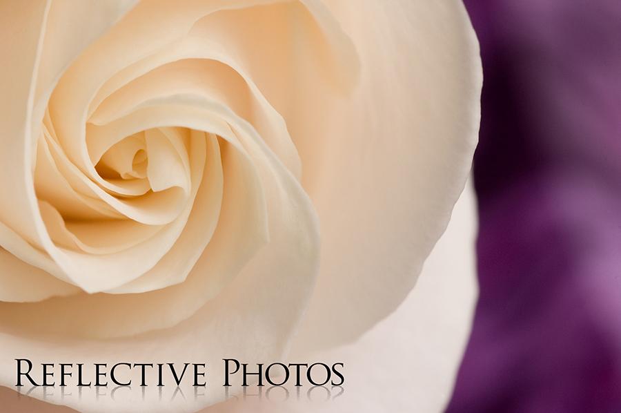 White Rose Spirals