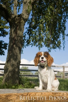 Cavalier King Charles Spaniel on the Farm