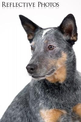 Portrait of an Australian Cattle Dog
