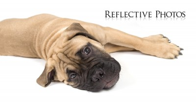 A bullmastiff puppy laying down on a white background.