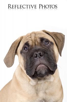 Portrait of a Bullastiff Puppy