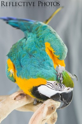 Blue and Gold Macaw Scratches Head