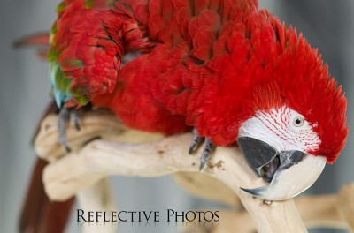 Green-Winged Macaw Crouching