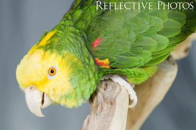 Yellow-Headed Amazon Crouches