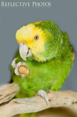 Yellow-Headed Amazon Eats nut.