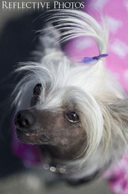 Chinese Crested in Pink