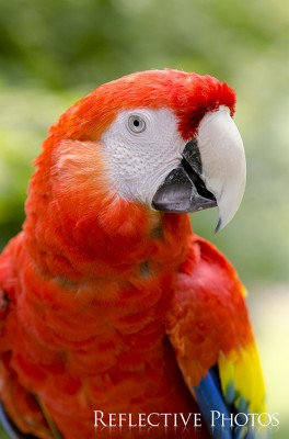 Portrait of a Scarlet Macaw Outside