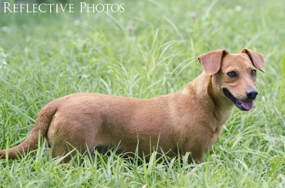 Dachsund Wades through Grass