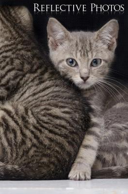 Shy Guy Gizmo - Portrait of a Kitten