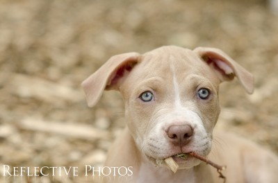 Pitbull Puppy Caught Eating Twigs