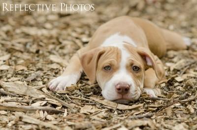 Pouty Pitbull Puppy