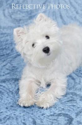 Westie Puppy on Blue Backdrop