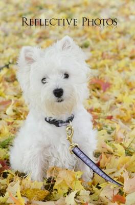 Westie Sits in Golden Leaves