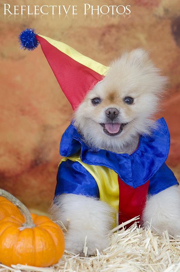 Pomeranian Clown & clown costume | Rebekah Nemethy - Art that Feeds the Heart (formerly ...