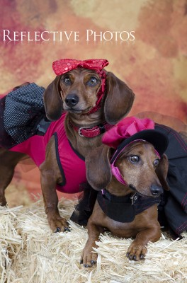 Two Dachsunds Dressed Up