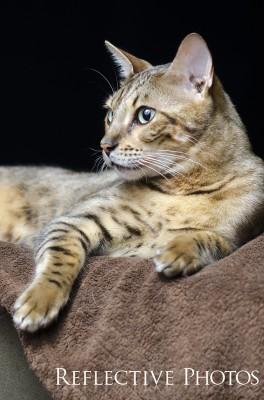 Bengal Cat Against Black