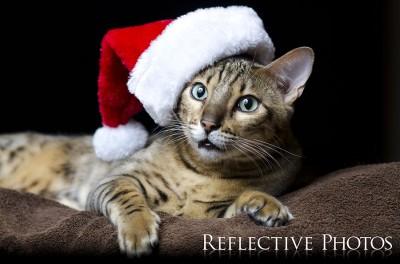 Bengal Cat in Santa Hat