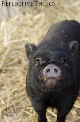 Pot-Bellied Piglet in Straw