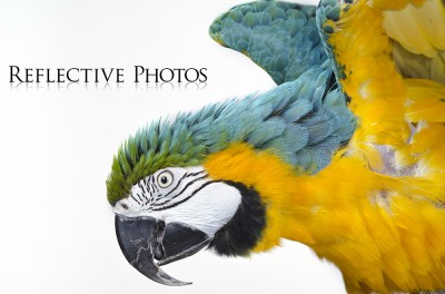 Blue and Gold Macaw Stretches Wings