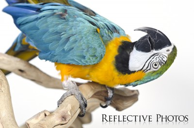 Funny Blue and Gold Macaw