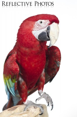 Green-Winged Macaw on One Claw