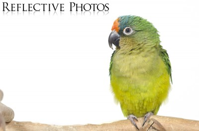 Portrait of a Peach-Fronted Conure Wide