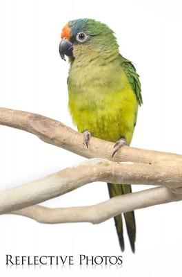 Portrait of a Peach-Fronted Conure