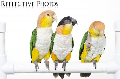 Three Funny Caiques on White