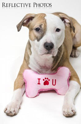 Pitbull Valentine's Day - I Love You