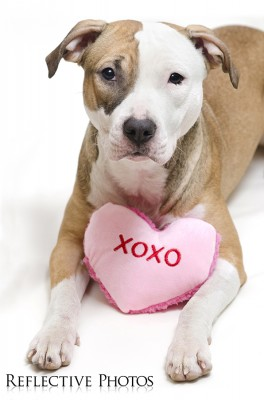 Pitbull Valentine's Day - XOXO
