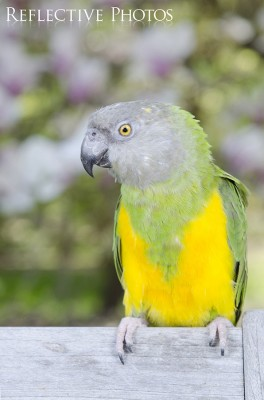 Senegal Parrot in Front of Flowering Tree