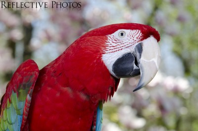 Green-Winged Macaw Against Floral Background