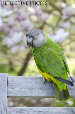 Portrait of a Senegal Parrot