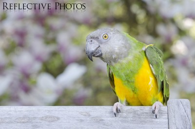 Senegal Parrot with Floral Background