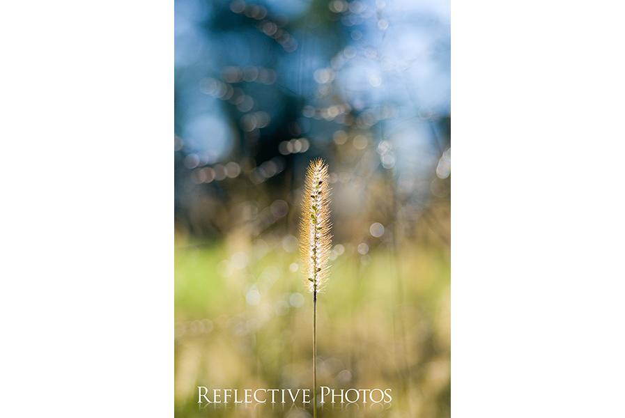 11_10_06_wild_wheat copy