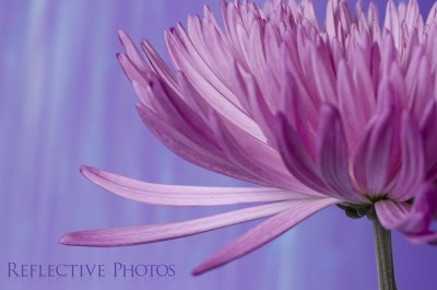 Three petals seem to reach out from this pink spider mum to touch the blue rain falling down.