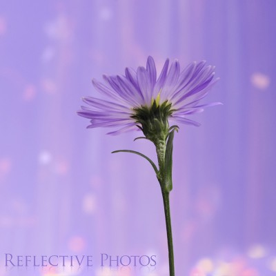A sparkling downpour of surreal pastel rain showers down on this purple aster flower.