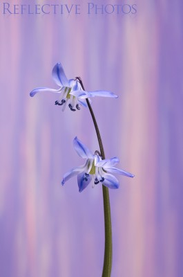 Two siberian squill flowers on a single stalk against an abstract background of surreal pastel rain.