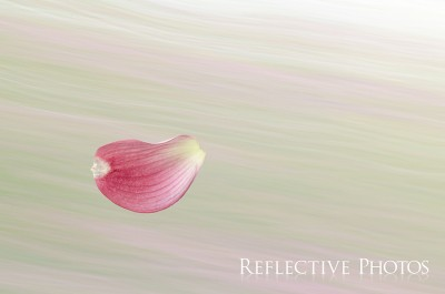 The pink petal from a dogwood tree flies across a green and pink windswept background.